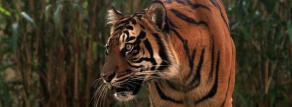 harimau_spesies01