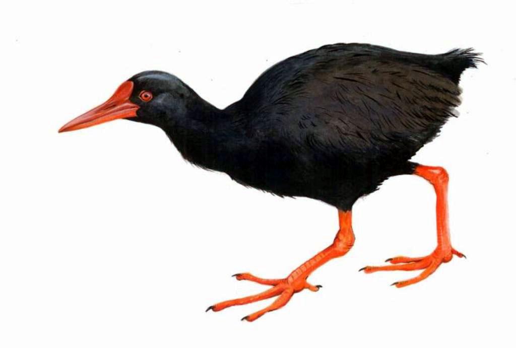 Mandar gendang yang tergabung dalam suku Ralidae ini, di Indonesia hanya ada 32 jenis. Burung ini dijuluki burung misterius karena sulit dilihat dan hanya ada di Halmahera. Foto: Rahmadi Rahmad/Ilustrasi: Paulo Alves