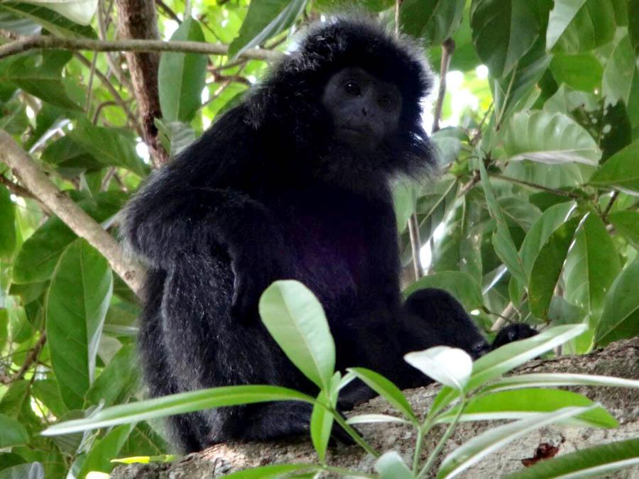 Lutung jawa adalah jenis monyet pemakan daun, yang banyak tersebar di Pulau Jawa dan sedikit populasi di pulau-pulau kecil sekitarnya. Foto: Javan Langur Center, The Aspinall Foundation Indonesia Program